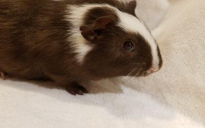 Piggies Galore – Owner Surrenders 40+ Guinea Pigs – #GivingTuesday