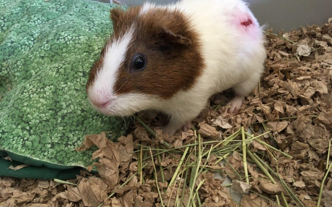 Guinea Pigs Saved from the Hot Streets